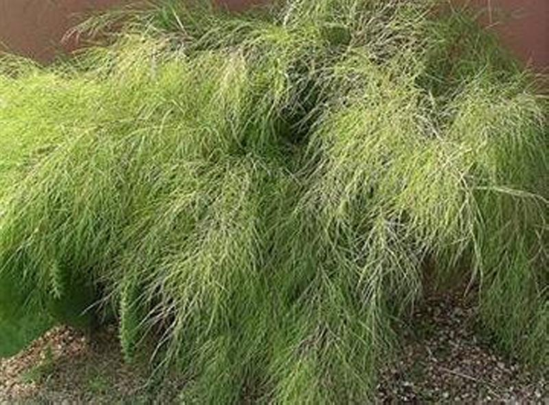 Bamboo Muhly – Austin Native Landscaping