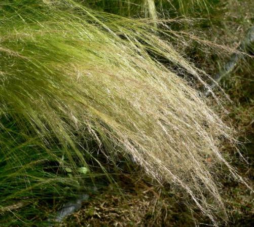 Nassella Stipa tenuissima_mexican_feathergrass_best_xeriscape_plants_for_texas_austin_landscaping_designs