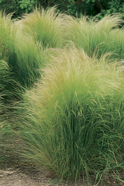 Nassella Stipa tenuissima_mexican_feathergrass_native_plants_of_texas_landscape_designer_austin