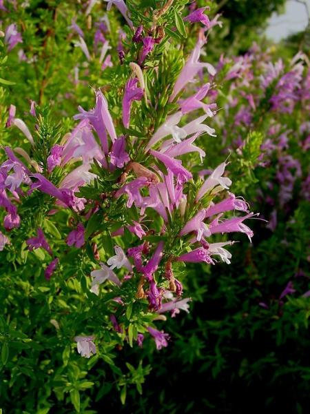 Poliomintha longiflora_Mexican_oregano_mint_austin_native_landscaping
