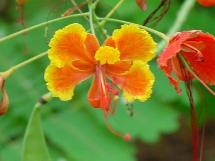 Pride_of_barbados_Austin_native_landscaping_design_texas_native_plants