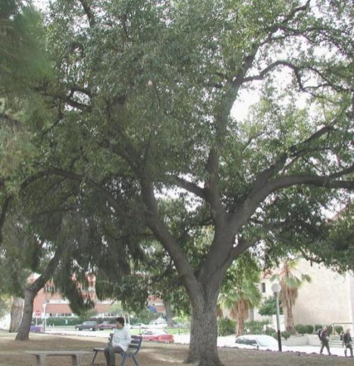 Quercus_Virginiana_Southern_Live_Oak_Austin_Best_Shade_Tree_For_Texas