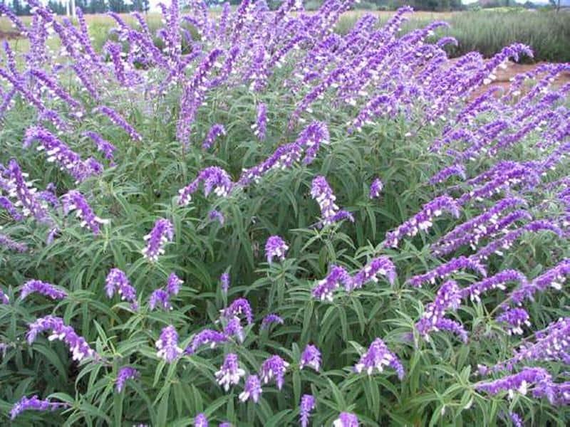 Salvia_leucantha_Mexican_Bush_Sage_Best_Plant_for_Texas_Austin