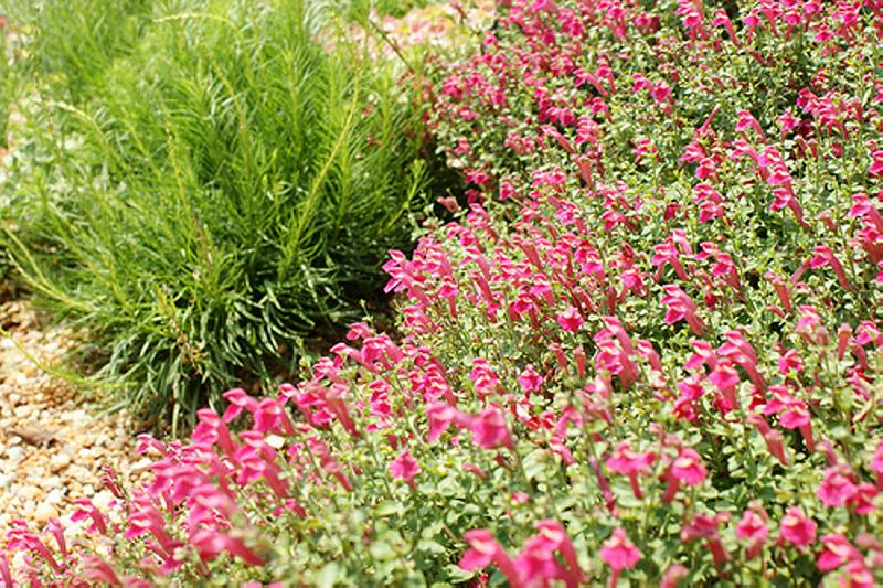 Scutellaria suffrutescens_Pink_skullcap_drought_waterwise_xeriscaping_texas