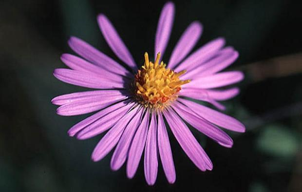 Symphyotrichum oblongifolium_Fall_Aster_Aromatic__Drought_Tolerant_Native_Plant