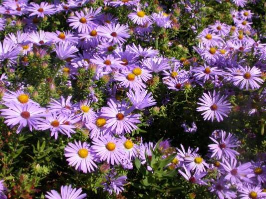 Symphyotrichum oblongifolium_Fall_Aster_Aromatic__Waterwise_Design_xeriscaping_Texas