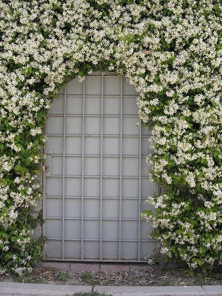 Trachelospermum jasminoides_Confederate_Jasmine_austin_xeriscaping_with_texas_native_plants