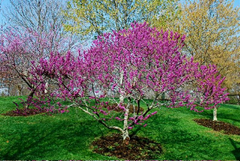 canadensis var. texensis_Texas_Redbud_Landscaper_waterwise_Texas_landscaping