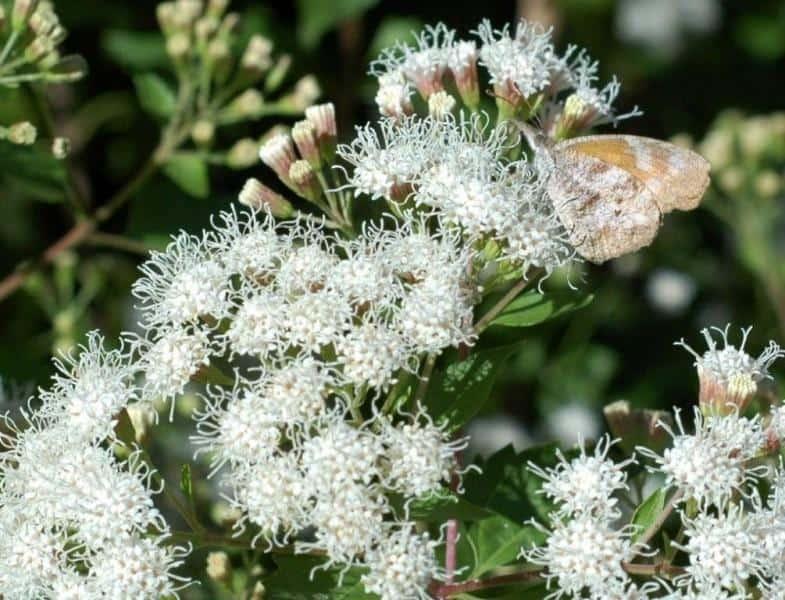 Eupatorium-havanense-White_Mistflower-Texas-Native-Plant-Waterwise-Landscaping