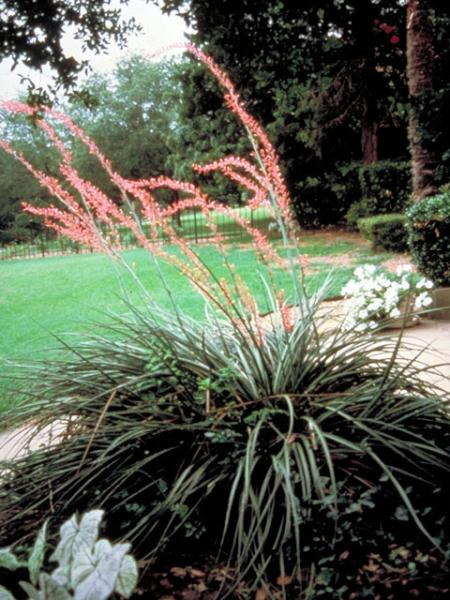 Hesperaloe-parviflora-Red-Yucca-Xeriscape_Design_Austin-Native-Landscaping