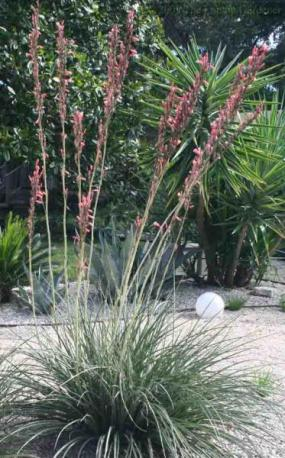 Hesperaloe-parviflora-Red-Yucca-Xeriscape_Design_Austin-Xeriscape-Landscaping-Flowerbeds