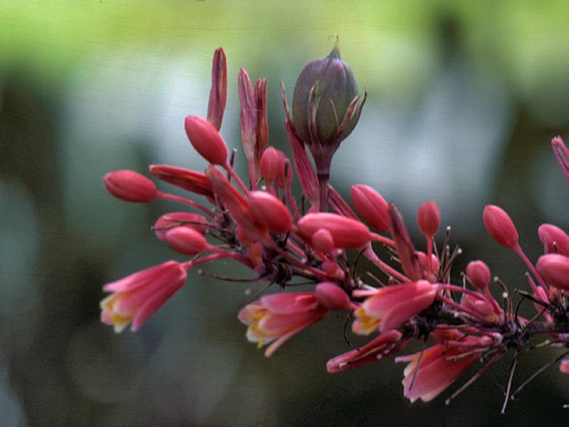 Hesperaloe-parviflora-Red-Yucca-Xeriscape_Design_Austin