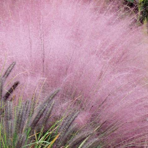 Xeriscape-Design-Austin-Muhlenbergia-capillaris-Gulf-Muhly-Texas-Native-Plant