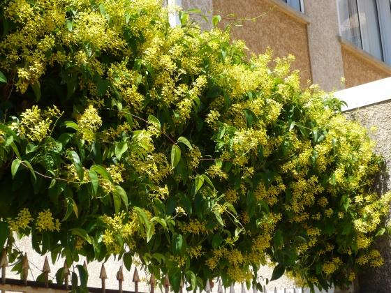Galphimia-glauca-Golden-Showers-Thryallis-Golden-Thryallis-Gold-Shower-Shower-of-Gold-Rain-of-Gold-Drought-Tolerant