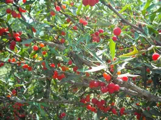 Mahonia-trifoliolata-Agarita-Currant-of-Texas-Wild-Currant-Chaparral-Berry-Agrito-Algerita-Xeriscaping