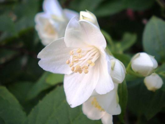 Philadelphus-coronarius-Sweet-Mock-Orange-English-Dogwood-Austin-Native-Landscaping