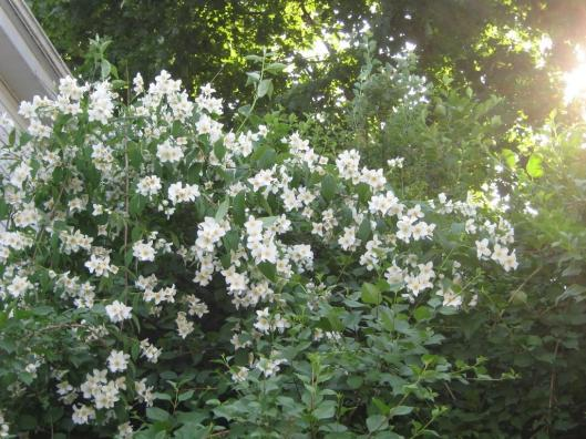 Philadelphus-coronarius-Sweet-Mock-Orange-English-Dogwood-Texas-Adapted-Trees