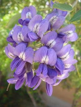 Sophora-secundiflora-Texas-Mountain-Laurel-Mescal-Bean-Austin-Native-Landscaping