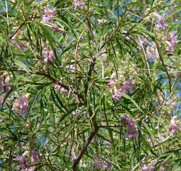 how to make texas mountain laurel grow faster