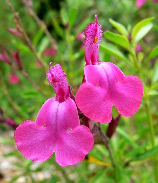 Salvia_greggii_Cherry_Sage_Gregg's_Sage_Autumn_Sage_Texas_Sage_Xeriscape_Design_Austin