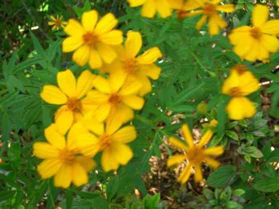 Tagetes_lucida_Mexican_Mint_Marigold_Yerbis_Anis_Spanish_Tarragon_Texas_Tarragon_Sweet_Mace_Texas_Native_Plants