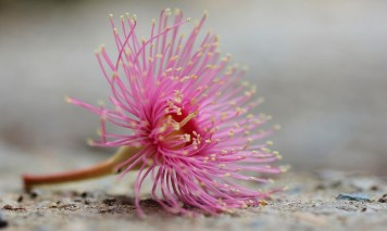 """Corymbia Summer Beauty"" by Sabine Tramaseur"