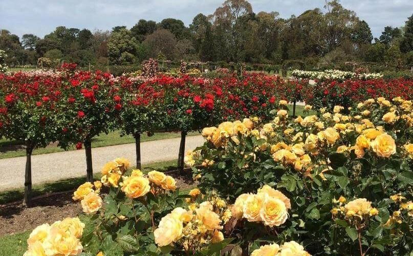 墨爾本旅遊景點-維多利亞玫瑰莊園,春季玫瑰花園展 • 澳洲留學網 - 傑瑞斯留學代辦