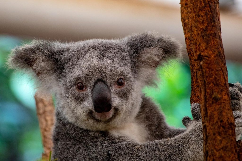 Smiling koala bear holding a tree