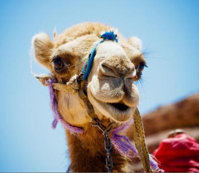 Camel MERS Pandemic