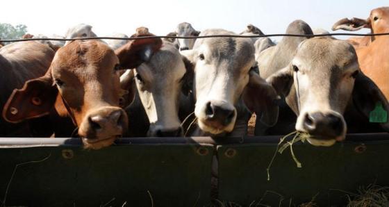 Kidman Cattle