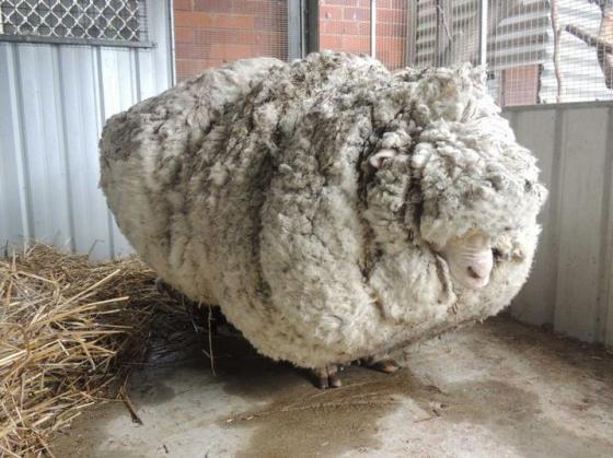 Woolly COAG