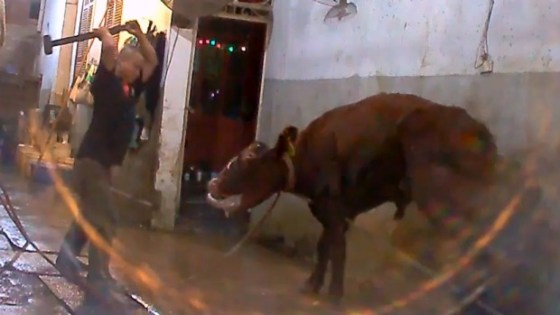 Live Cattle Slaughter in the Third World
