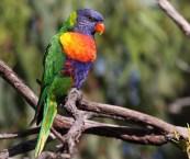 backyard birds australia