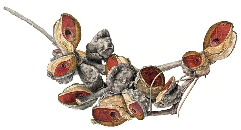 Australian native seeds