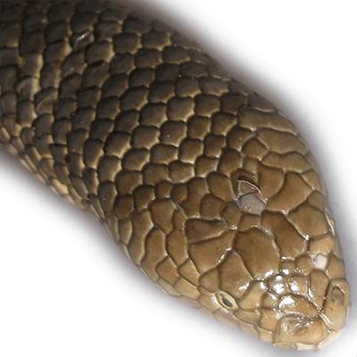 Leaf scaled sea snake