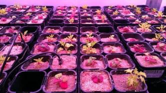 Pelargonium growing in Climatron ANU