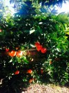 My Small Blood Orange Tree Bending under the Weight of the Many Fruits