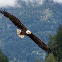 Seeadler, majestätisch beeindruckend