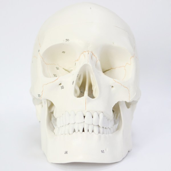 Human Skull Model for Anatomy, Life Size Numbered Medical Anatomical Adult Male Plastic Skull 2