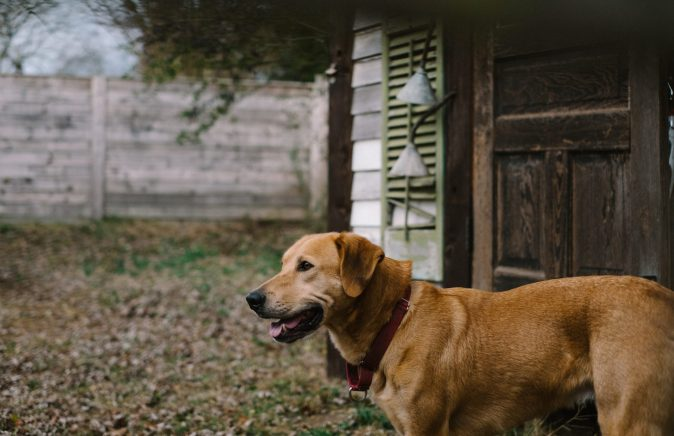 photo of a yellow lab in Asheville, North Carolina