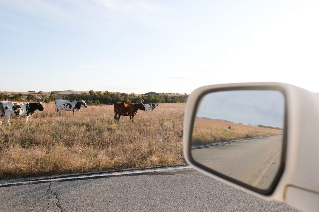 longhorn steer in a rearview mirror