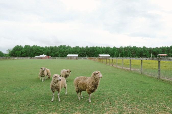 Sheep in a field.