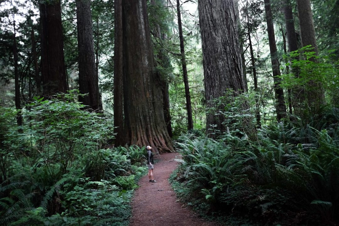redwoods copy.jpeg