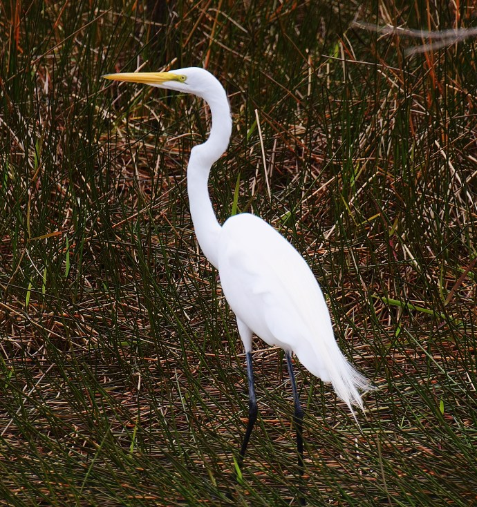 egret everglades