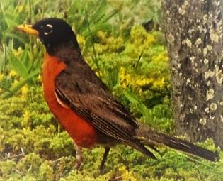 Arkansas robin