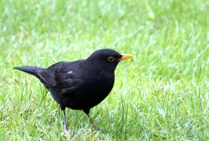 photo of blackbird on grass