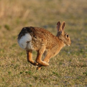 Photo of leaping rabbit