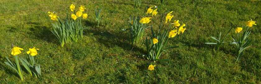 photo of daffodils on the lawn