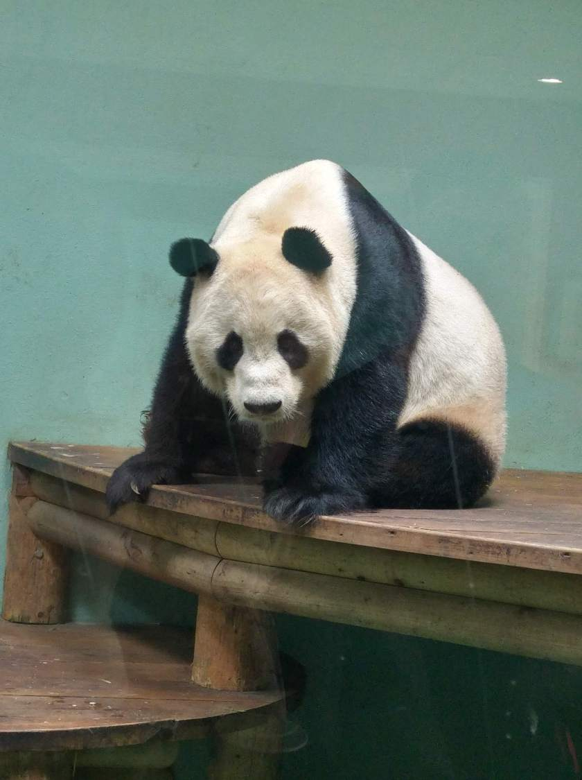photo of giant panda at Edinburgh Zoo