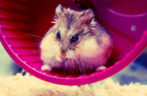 """Meet Spiffy the Hamster."" He's DEAD. Original image via Dan Derritt Flikr Creative Commons"
